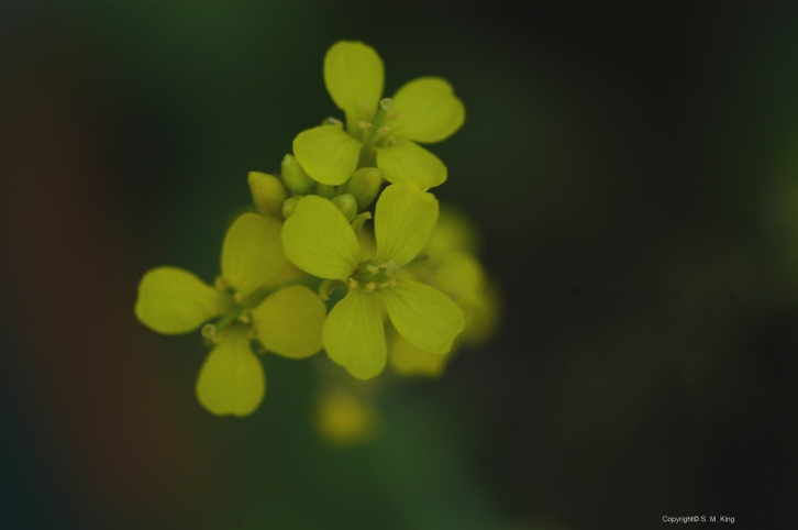 Mustard DSC_3235